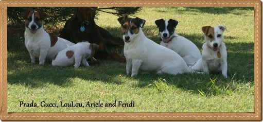 EJRTCA Shorty Jack Russell Terriers