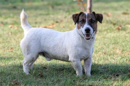 akc jack russell for sale